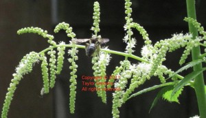 pollinating fly on goatsbeard