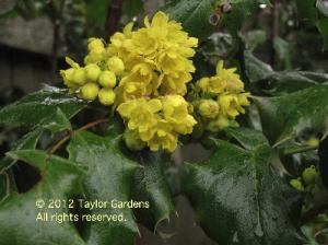 Tall Oregon grape