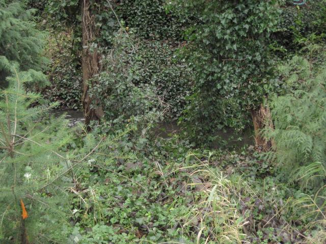 Assorted weeds including English ivy, and blackberries (previously Himalayan, now Armenian - same plant)