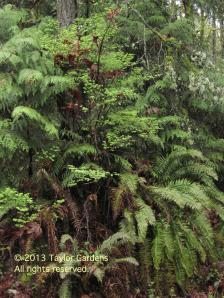 Sword ferns in a natural setting