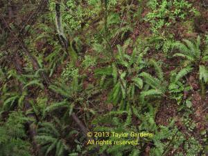 Sword ferns in a steep ravine - a familiar northwest sight