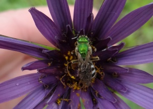 Agapostemon virescens - a 'sweat bee' widespread in north America