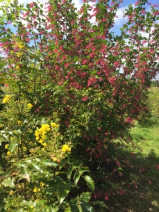 Just fading, but you can see how well tall Oregon grape (Mahonia aquifolium) goes with red-flowering currant (Ribes sanguineum) in the landscape garden!