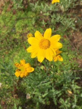 Long-lasting deep yellow composite flowers offer nectar and a landing pad for pollinators